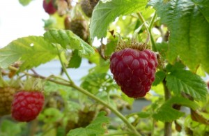 Bounty raspberries